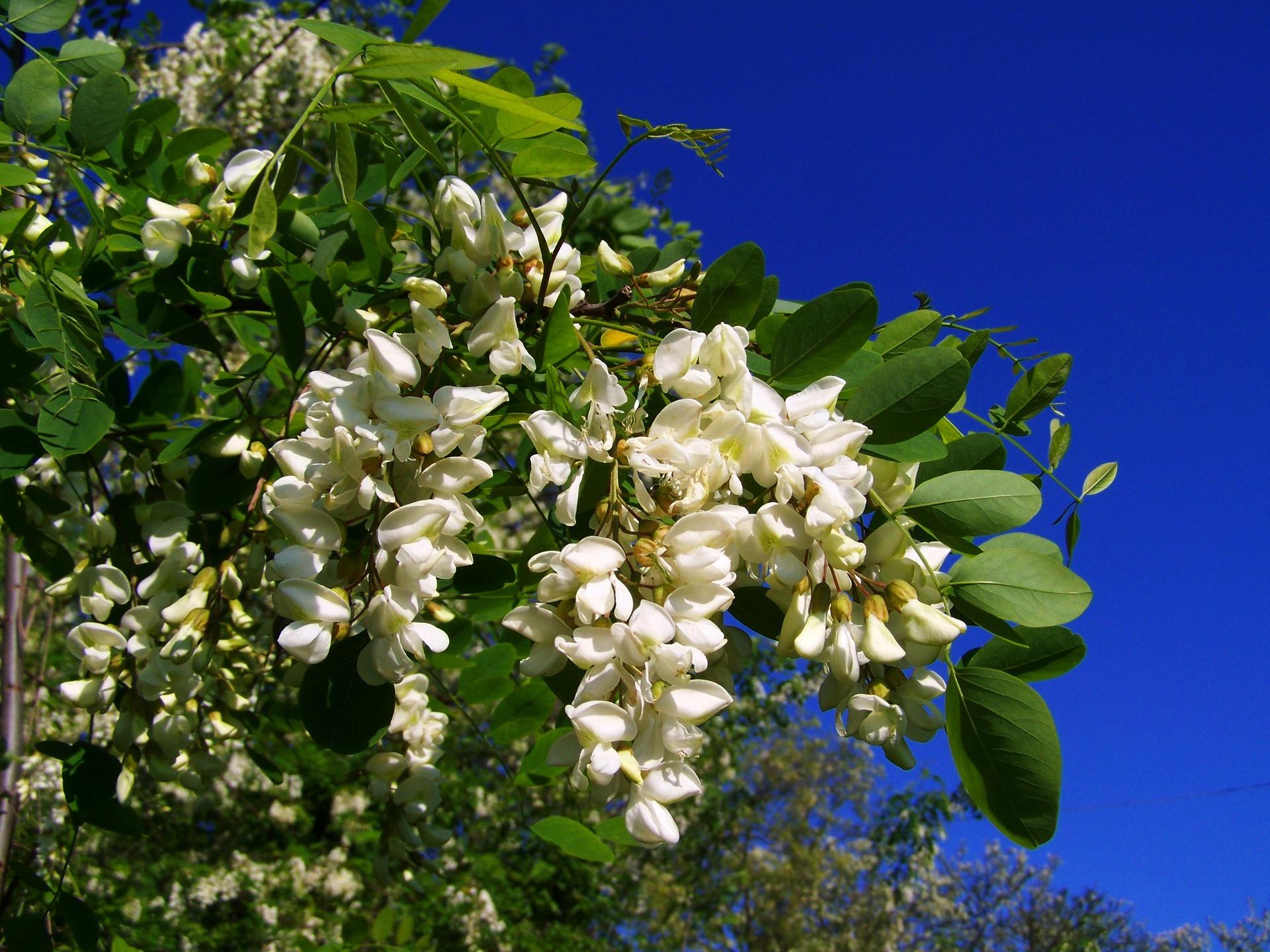 Acacia Savoie